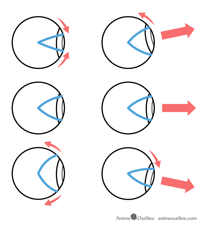 Eyelid movement and eye rotation illustration